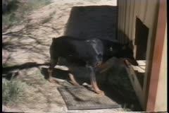 Doberman entering dog house Stock Footage
