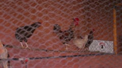 Chicken Coup 4 - stock footage