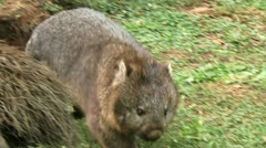 Wombat Stock Footage