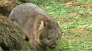 Stock Video Footage of Wombat