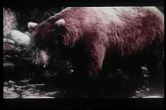 Bear catching and eating fish in stream Stock Footage