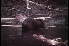 Beaver washing itself in river Stock Footage