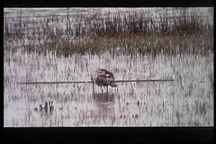 Wide shot of bird washing itself in marsh Stock Footage