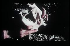 Close-up of hands holding javelina skull Stock Footage