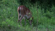 Stock Video Footage of Young deer eating in wooded setting pauses to look at you