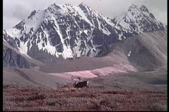 Moose roaming through field in Alaska Stock Footage
