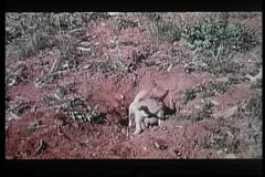 Two baby coyotes digging a hole in the wilderness Stock Footage