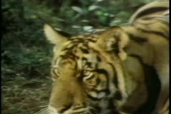Tiger attacking man in forest Stock Footage
