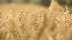 Harvester On Cornfield Stock Footage
