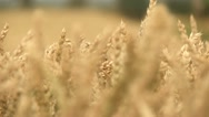Stock Video Footage of Harvester On Cornfield