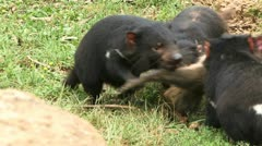 Tasmanian Devils eating a Kangaroo Stock Footage