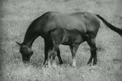 Horse grazing on grass with foal on farm Stock Footage