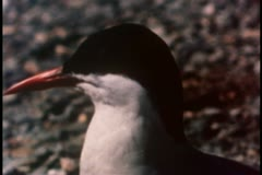 Close-up of arctic tern on the look out Stock Footage
