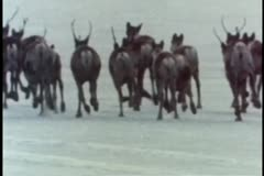 Rear view of caribou herd  running away Stock Footage