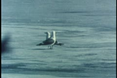 Two glaucous gulls walking on ice in Alaska Stock Footage
