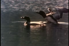 Two ducks swimming in a lake - stock footage