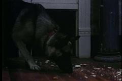German shepherd eating breadcrumbs on floor Stock Footage