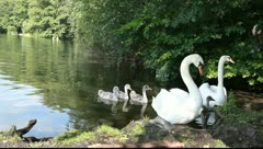 Swans are threatening Stock Footage