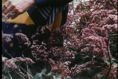 Medium shot of woman cutting flowers in garden - stock footage