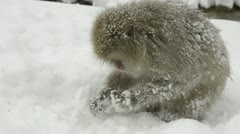 Closeup of snow monkeys scavenging for food in the snow, Jigokudani, Nagano, Jap Stock Footage