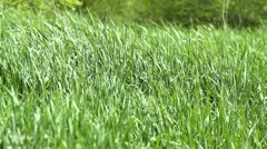 wind fluttering green grass - stock footage