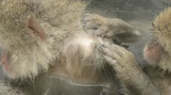 Snow monkeys preening while in a natural hot-spring, Jigokudani, Nagano, Japan. Stock Footage