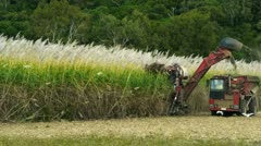 Stock Video Footage of sugar cane