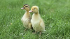 Two ducklings brothers Stock Footage