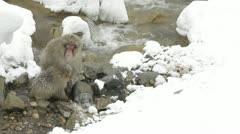 Snow monkeys sitting in the snow and harsh winds, Jigokudani, Nagano, Japan. - stock footage