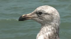 1440 Pier 39 Seagull 2 Stock Footage