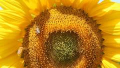Bees on Sunflower Stock Footage