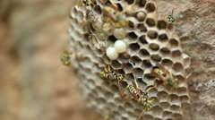 Wasp Nest _4 Stock Footage