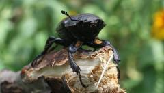 Stag Beetle, Lucanus cervus Stock Footage