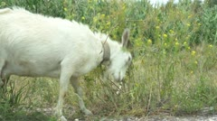 Naughty butting goat Stock Footage