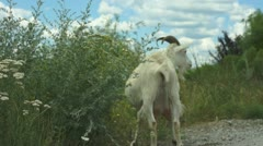Goat on pasture - stock footage