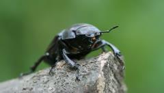 Ferocious beetle, Lucanus cervus Stock Footage