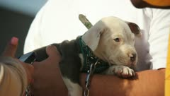 Pit Bull Puppy Stock Footage