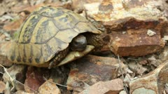 Hermann's tortoise ( Forest Turtle ) _2 Stock Footage