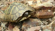 Stock Video Footage of Hermann's tortoise ( Forest Turtle ) _2