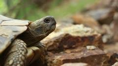 Hermann's tortoise ( Forest Turtle ) _1 Stock Footage