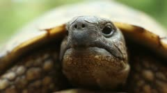Hermann's tortoise ( Forest Turtle ) - stock footage