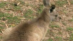 Kangaroo in feild Stock Footage
