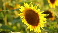 Stock Video Footage of sunflowers, shallow depth of field 13