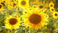 Stock Video Footage of sunflowers, shallow depth of field