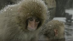 Two baby snow monkeys sitting in the cold closeup, Jigokudani, Nagano, Japan. Stock Footage