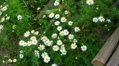 View on chamomile plant Stock Footage