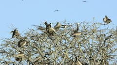 Brown Pelicans perched on treetops - stock footage