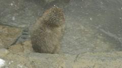 Young snow monkey jumping onto a rock, Jigokudani, Nagano, Japan. Stock Footage