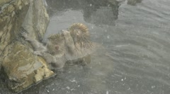 Two snow monkeys relaxing in a natural hot-spring, Jigokudani, Nagano, Japan. Stock Footage