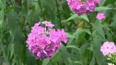 Phlox flowers Stock Footage